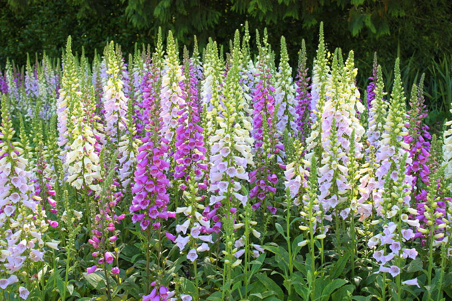 ฟ็อกซ์โกล์ฟ - Foxglove Flower Mix