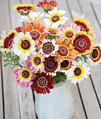 ดอกเดซี่ 3 สี คละสี - Tricolor Daisy Flower