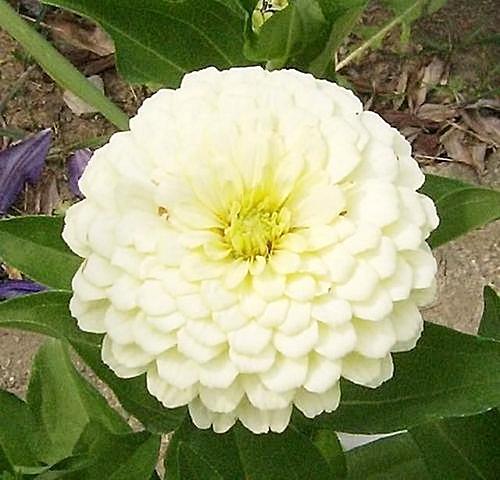 ดอกบานชื่นสีขาว - Mixed White Zinnia Flower