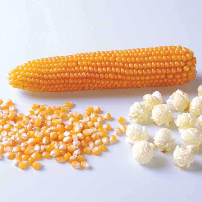 ข้าวโพดป็อปคอร์น - South American Yellow Pop Corn