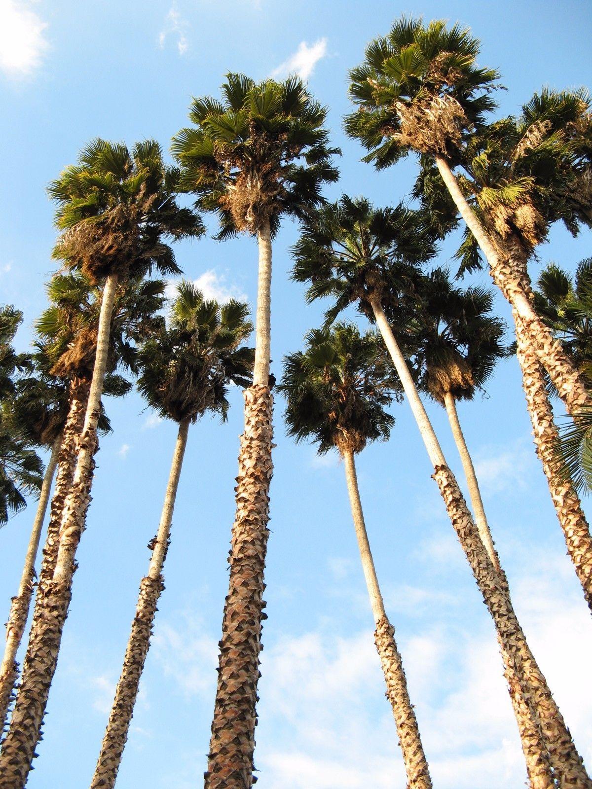 ปาล์มแคลิฟอร์เนีย - California Palm