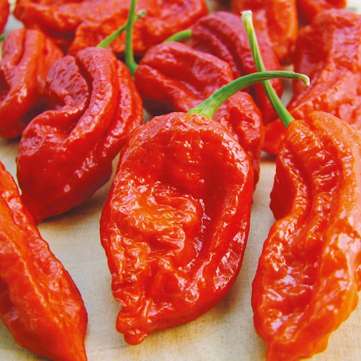 พริกปีศาจ สีแดง - Red Bhut Jolokia Pepper