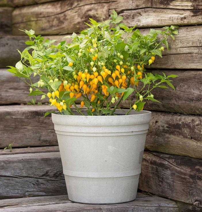 พริกไบควินโฮสีเหลือง - Yellow Biquinho Pepper