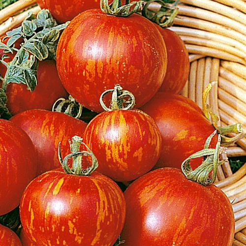 มะเขือเทศเสือ - Tigerella Tomato