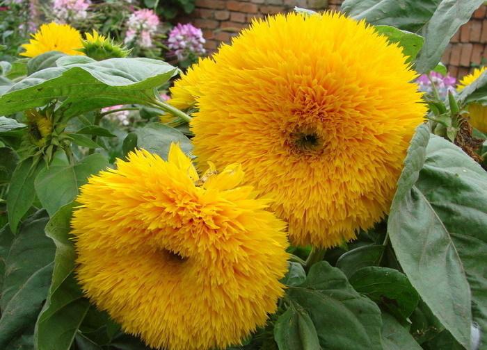 ทานตะวัน เทดดี้แบร์ - Teddy Bear Sunflower