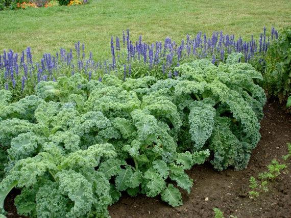 เคลใบหงิก - Vate Blue Curled Kale