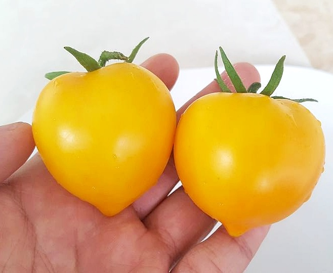 มะเขือเทศแอนนา - Anna Herman Tomato