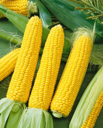 ข้าวโพดหวานน้ำผึ้ง - Honey Select Sweet Corn F1