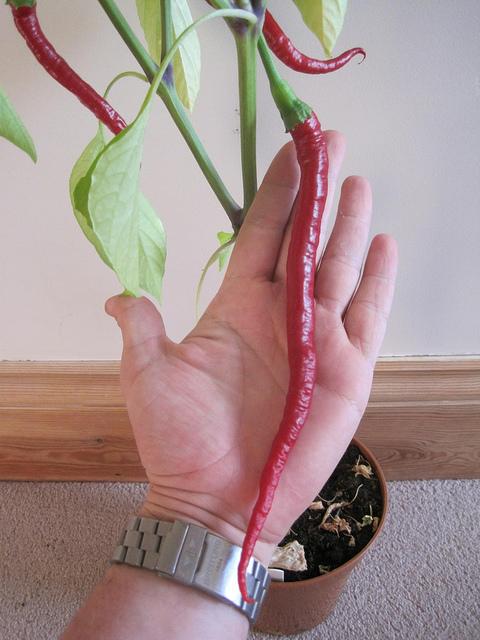 พริกยาว โจลอง - Jo Long Pepper