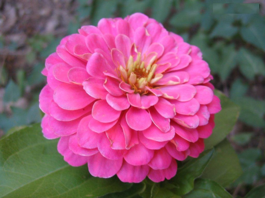 ดอกบานชื่นสีชมพู - Mixed Pink Zinnia Flower