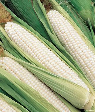 ข้าวโพดหวานขาว ซิลเวอร์คิงส์ - Silver King Corn F1