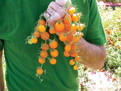 มะเขือเทศโกลเด้นเก็ม - Golden Gem Tomato F1