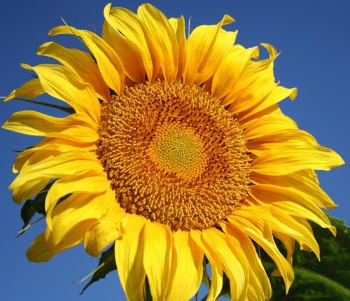 ทานตะวันแมมมอธ - Mammoth Sunflower