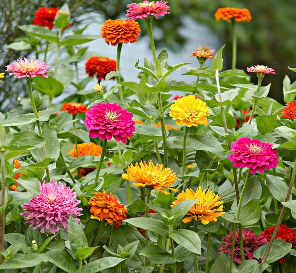 (Whole 1 Oz) ดอกบานชื่น คละสี - Mixed CA Zinnia Flower