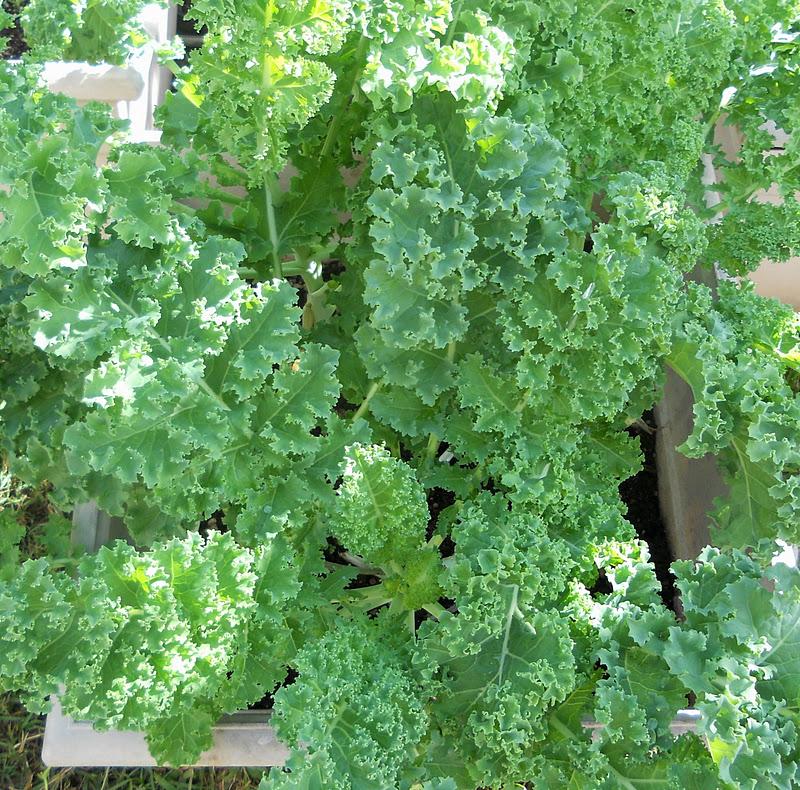 (Whole 1 Oz) ผักคะน้าเคลไซบีเรียน - Siberian Dwarf Kale