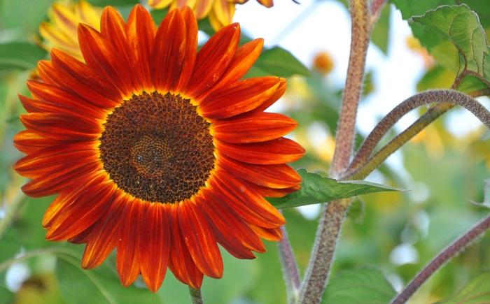 (Whole 1 Oz.) ทานตะวันสีแดง - Red Sunflower