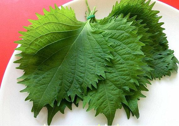 ชิโซะ - Green Shiso