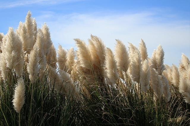 หญ้าแพมพัส สีขาว ซองละ 10 เมล็ด