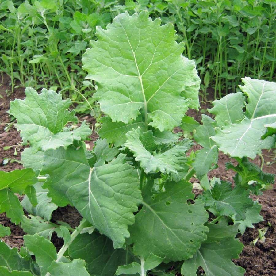 ผักคะน้าเคลไซบีเรียน - Siberian Kale