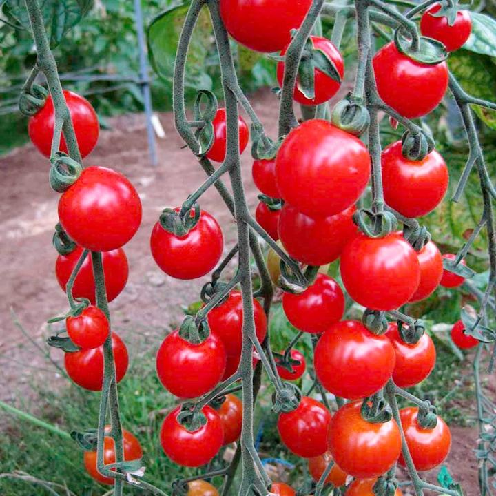 มะเขือเทศหวานสวีทแอพเพอริทิฟ - Sweet Aperitif Tomato F1