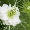 ดอกรักในหมอก สีขาว - White Love in a mist