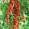 มะเขือเทศ สวีทมิลเลี่ยน - Sweet Million Tomato F1