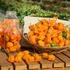 พริกฮาบาเนโร่สีส้ม - Orange Habanero Pepper