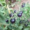 มะเขือเทศสีม่วง - Indigo Rose Purple Tomato