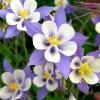 ดอกโคลัมไบน์ คละสี - Mixed Columbine Flower