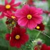 ดาวกระจายแดง - Red Cosmos Flower