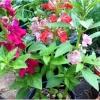 ดอกเทียน คาเมลเลีย - Mixed Camellia Balsam Flower