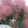 ต้นเพอร์เพิล สโมค ซองละ 5 เมล็ด