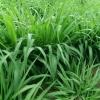 เมล็ดหญ้ารูซี่