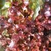 (Whole 1 Oz) สลัดแดงโบวล์ - Red Salad Bowl