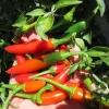 พริกเซอราโน่ - Serrano Mexican Pepper