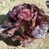 ผัดสลัดแดง เรดโรเมน - Red Romaine Lettuce