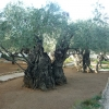 ต้นมะกอก ยูโรป้า ซองละ 5 เมล็ด