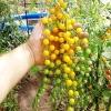 มะเขือเทศมินิสีเหลือง - Goldrush Currant Tomato