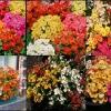 ดอกเนเมเซีย คาร์นิวัล มิกซ์ 50 เมล็ด/ชุด