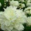 ดอกโบตั๋น สีขาว ซองละ 5 เมล็ด