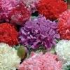 ดอกป็อปปี้ดอกซ้อน คละสี 50 เมล็ด/ชุด