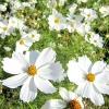 (Whole 1 Oz) ดาวกระจายสีขาว - White Cosmos Flower