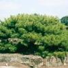 สนหินญี่ปุ่น ซองละ 3 เมล็ด