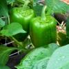 พริกหวานแคลิฟอร์เนียสีเขียว - Green Sweet Pepper