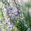 โรสแมรี่ - Rosemary Herb