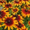 ดอกรู้ดเบ็กเกีย ซองละ 30 เมล็ด