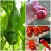 พริกกระจู๋ สีแดง - Red Peter Pepper