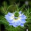 ดอกรักในหมอก สีน้ำเงิน - Blue Love in a mist