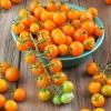 มะเขือเทศซันโกลด์ - Sun Gold Tomato F1