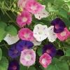 ดอกมอร์นิงกลอรี คละสี - Mixed Morning Glory Flower